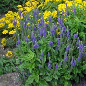 speedwell-sunny-border-blue-veronica