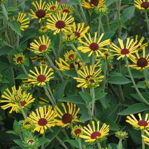 sweet-coneflower-henry-eilers-rudbeckia-subtomentosa