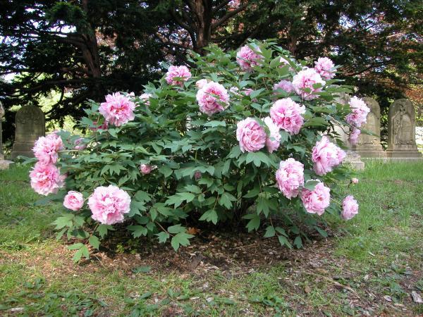 tree-peony-paeonia-suffruticosa
