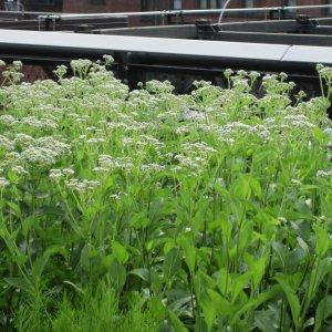 wild-quinine-parthenium-integrifolium