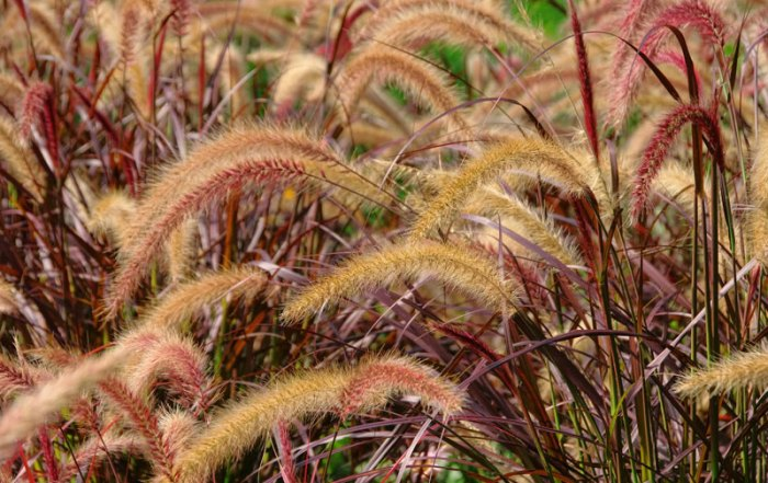 red-fountain-grass_web