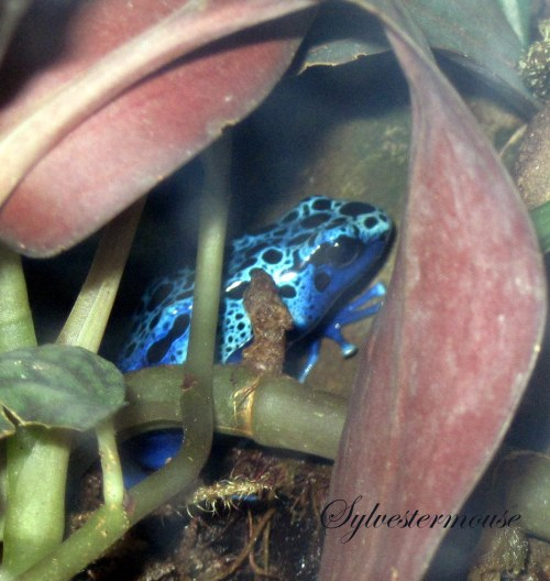 Black & Blue Poison Dart Frog Photo by Sylvestermouse