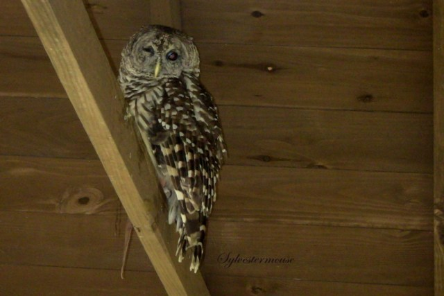 Barred Owl Photo by Sylvestermouse