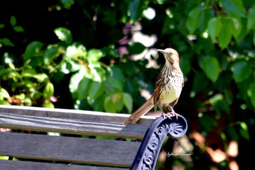 photo of a Brown Thrasher