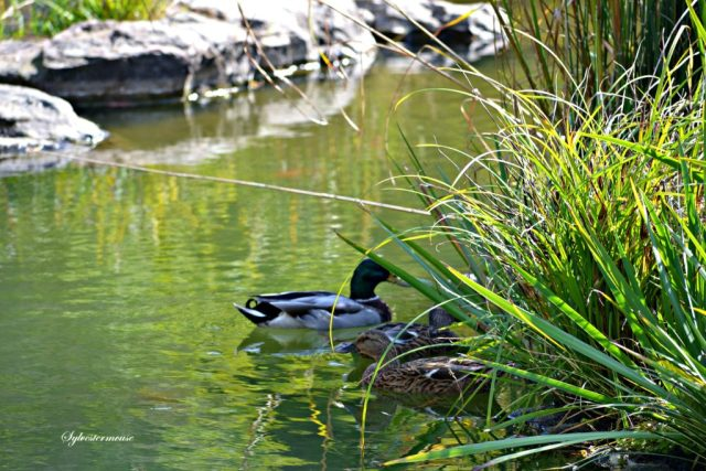 Ducks photo by Sylvestermouse