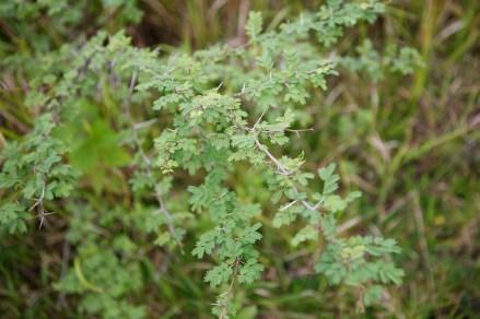 Aroma Acacia farnesiana