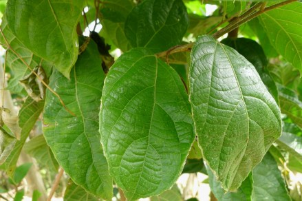 Is-is Ficus ulmifolia