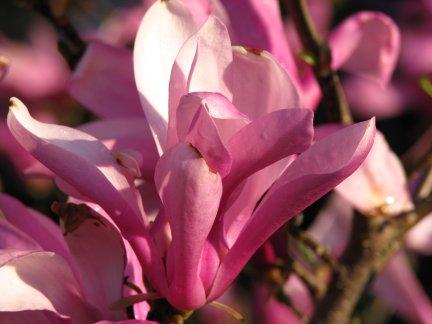 Lotus Tree Blossom