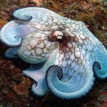 Symbiosis diving, Frederiksted pier, reef octopus