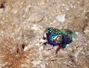 Bobtail Squid, Raja Ampat, Symbiosis Diving