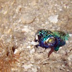 Bobtail Squid, Raja Ampat, Symbiosis Diving