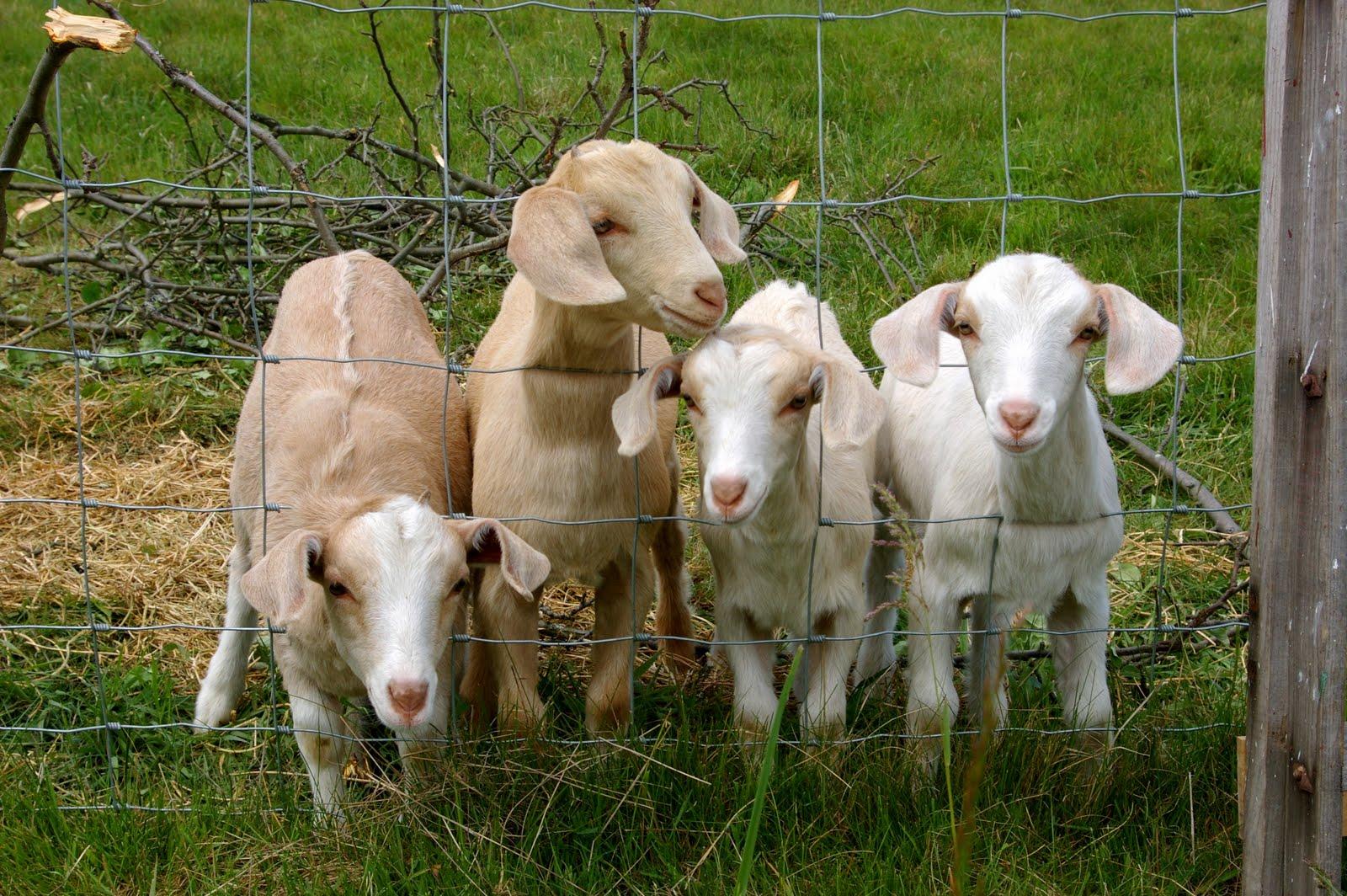 Bearded Goat