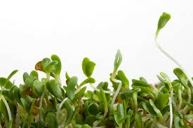 sprout1