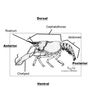 crayfish diagram labelled | Synergy Middle School Science 0809