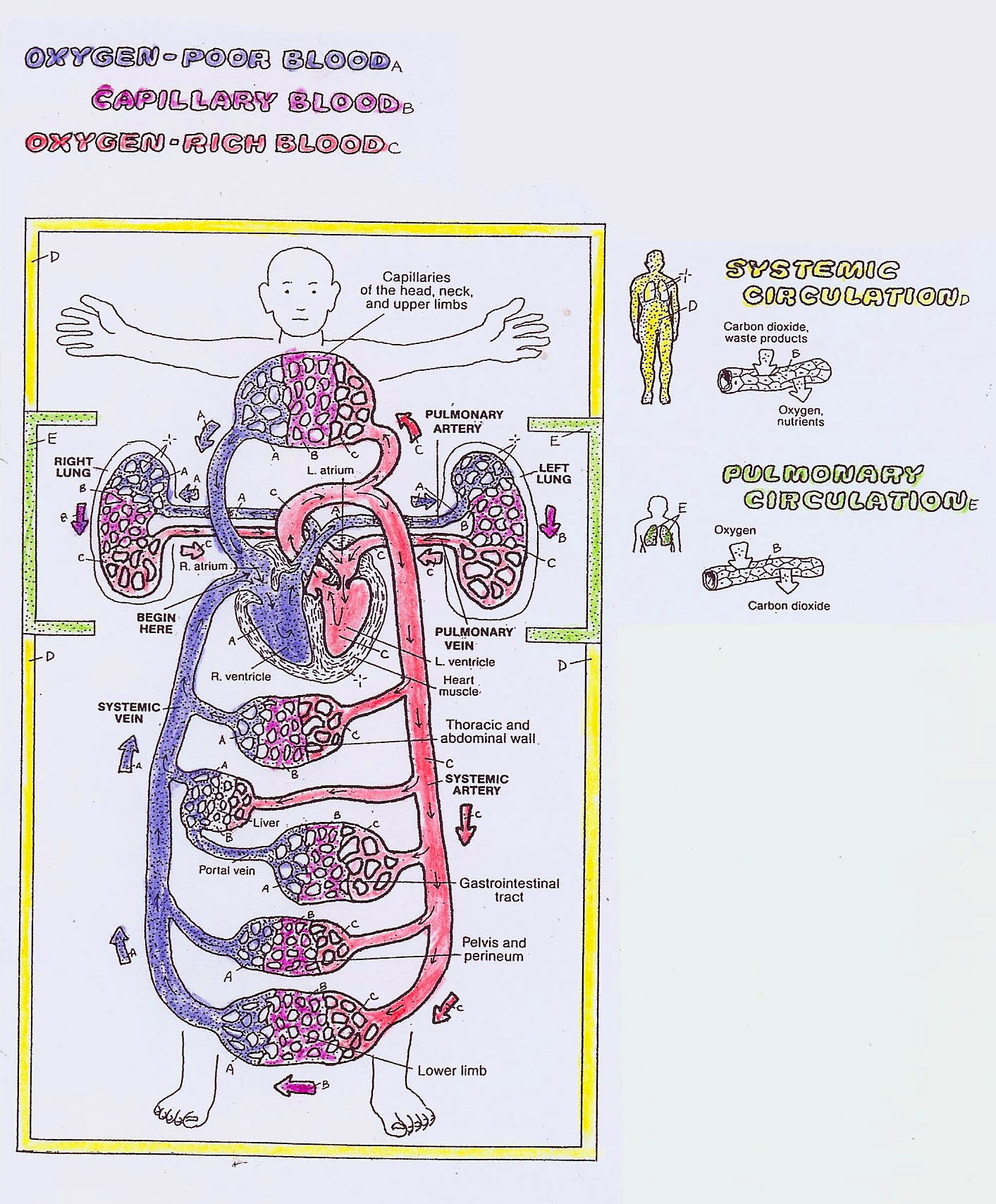 Blood Circulation Through The Body And Through The Heart