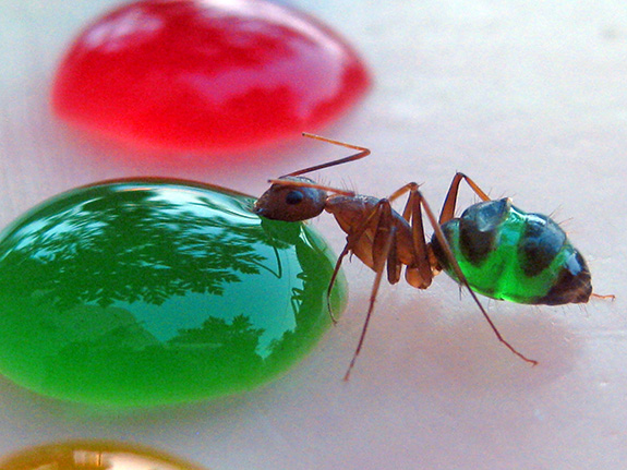 Dr. Mohamed Babu's Colored Ants