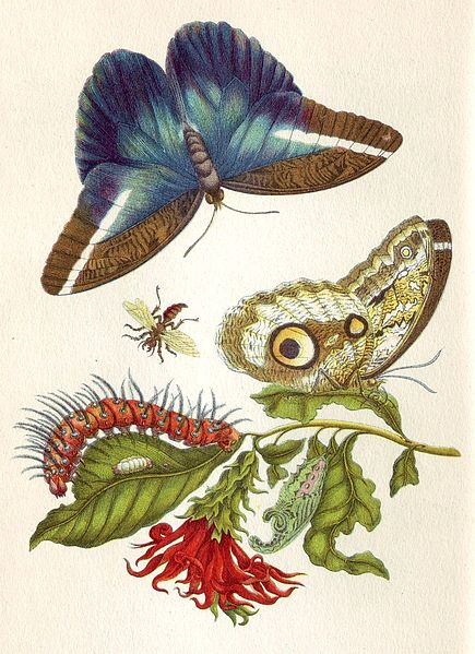 from Metamorphosis Insectorum Surinamensium, 1705
