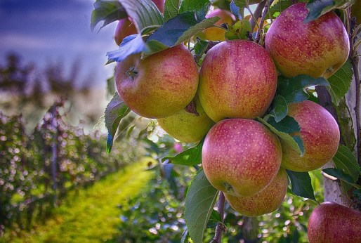 apples-490475_640