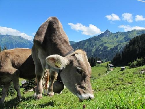 milk-cow-231438_640