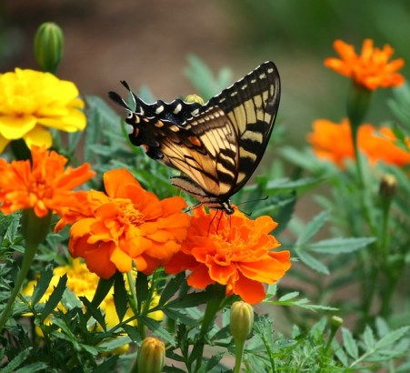 old-world-swallowtail-54874_640