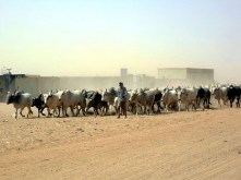 Cattle Drive, Omdurman