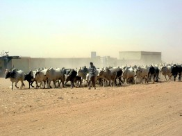 Cattle Drive, Omdurman