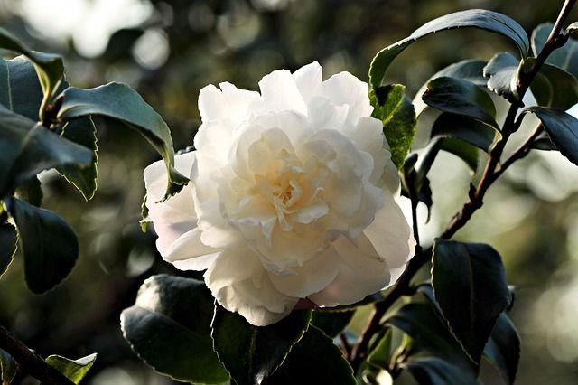 camellia-1883205_640