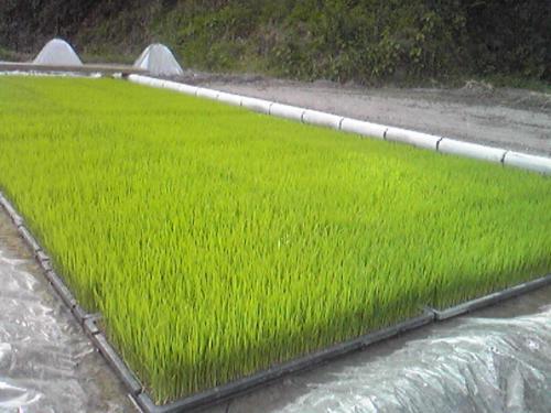 稲の苗と細身のレディ