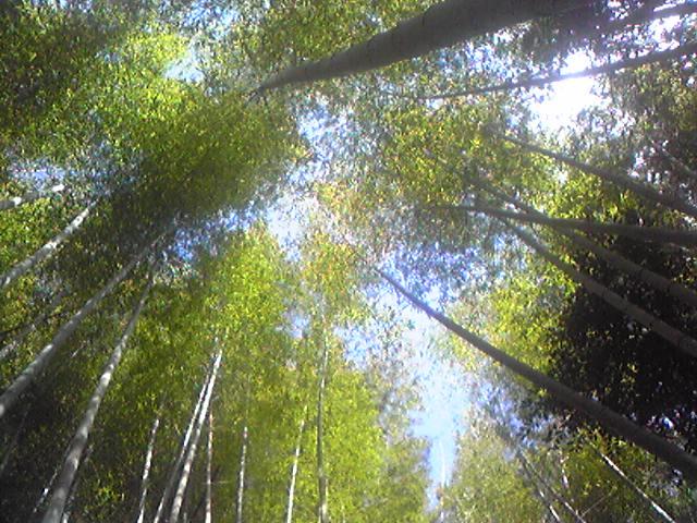 竹薮の中からこんにちは