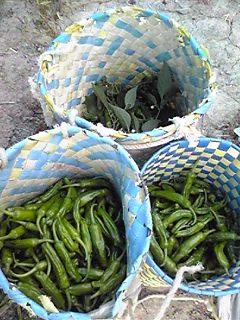 収穫直後のシシトウ