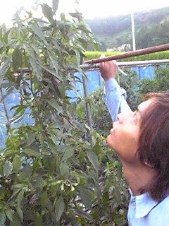 シシトウを栽培していた当時の竜一(若い!)