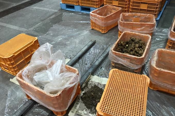 農協の予冷庫で種生姜を拵える