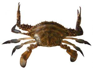 渡り蟹の写真