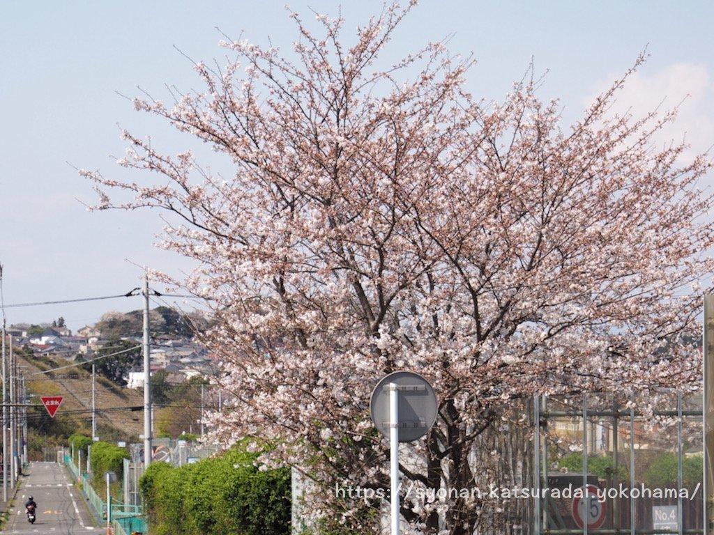 上郷公田線の桜
