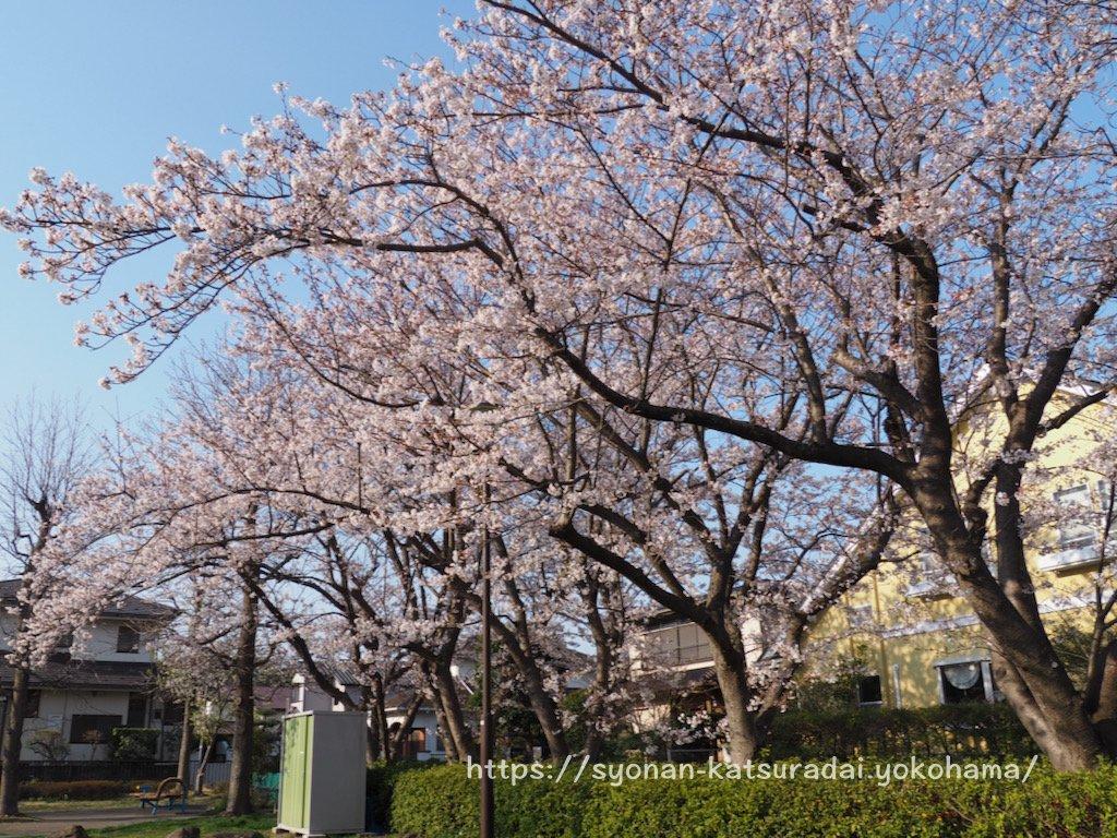 湘南桂台ゆうもや公園の桜