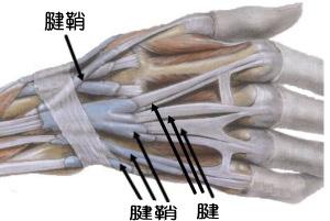 腱と腱鞘画像