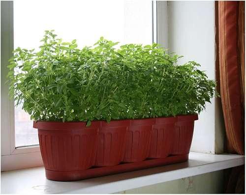 Пряная кинза на подоконнике вашей дачи. Как вырастить кориандр зимой на подоконнике из семян в домашних условиях