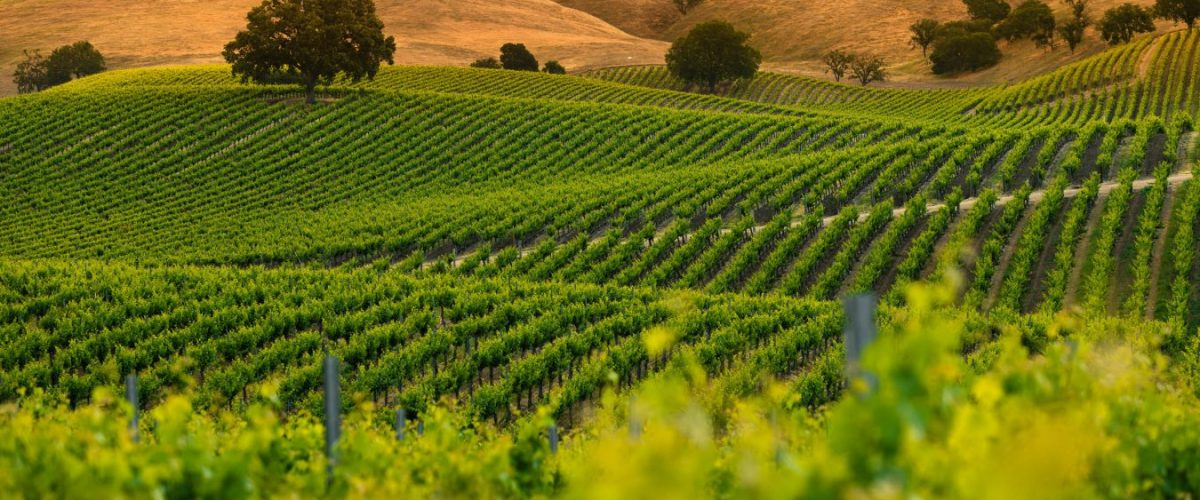 Fall In Love With Paso Robles White Wines