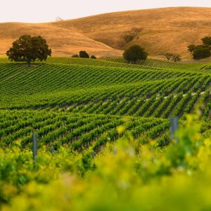 Paso Robles White Wines