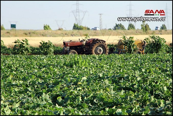 Daraa More hectares planted with vegetables this season