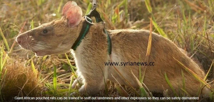 Giant African pouched rats needed to sniff out Biden regime terrorists landmine explosives.
