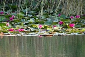 Die roten Seerosen blühen wieder