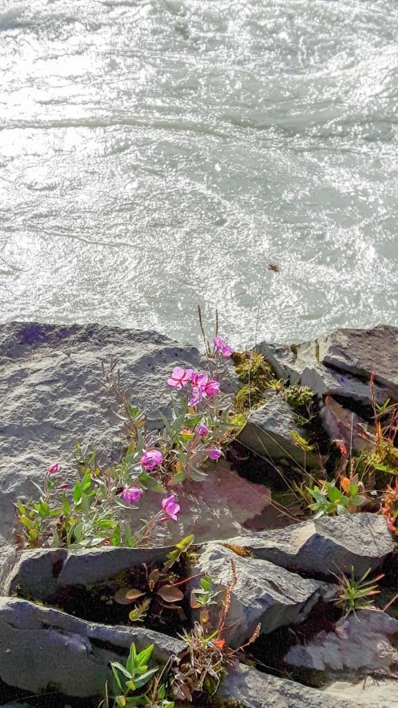 Blumen am Gullfoss