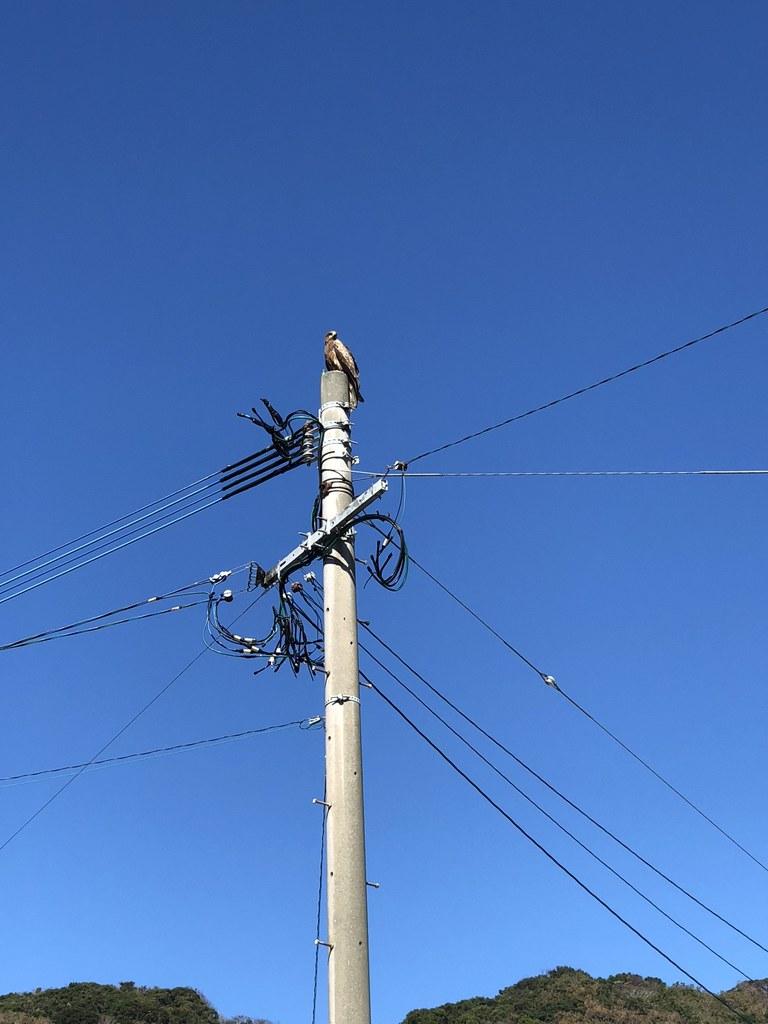 電柱の上のトンビ