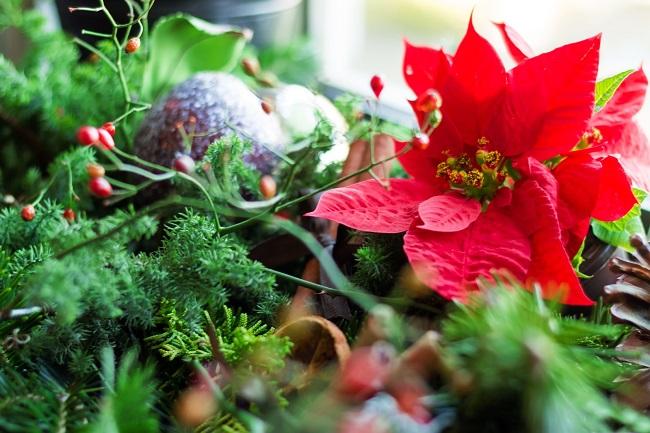 クリスマスプレゼントに花言葉を添えたポインセチア