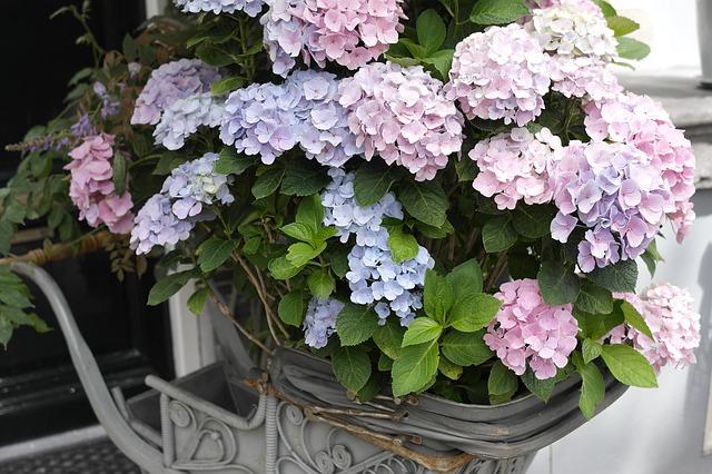 紫陽花の鉢植えの育て方