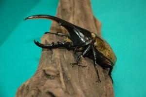 足立区生物園のカブトムシ・クワガタは、触れます。