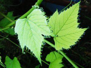 スチューベンの葉