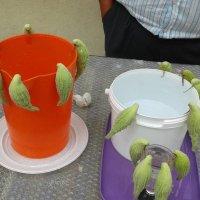 A papagájfa termése- barátaitól kapta, Erenyőben  elültette -    mozdulatlan madárkák