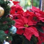 ポインセチア、クリスマス飾りの販売